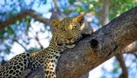 475338_leopard_dikaya-koshka_xishhnik_1920x1100_www-gde-fon-com