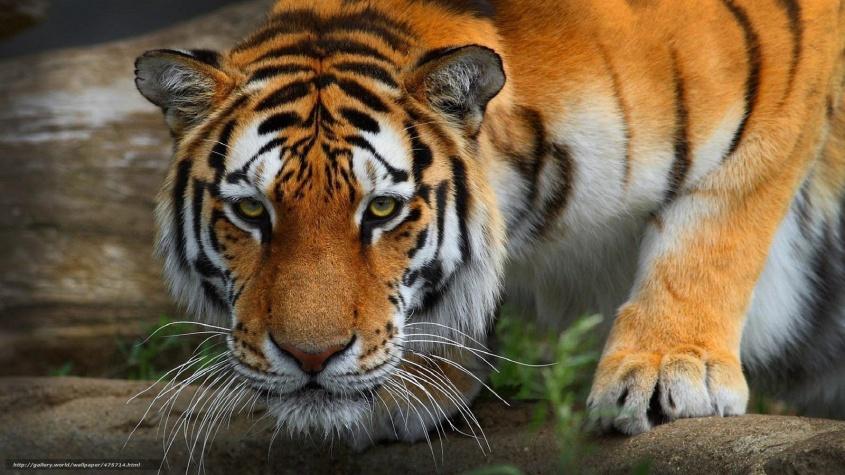 475714_tigr_dikaya-koshka_xishhnik_1920x1080_www-gde-fon-com