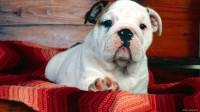 angol-bulldog-kiskutya