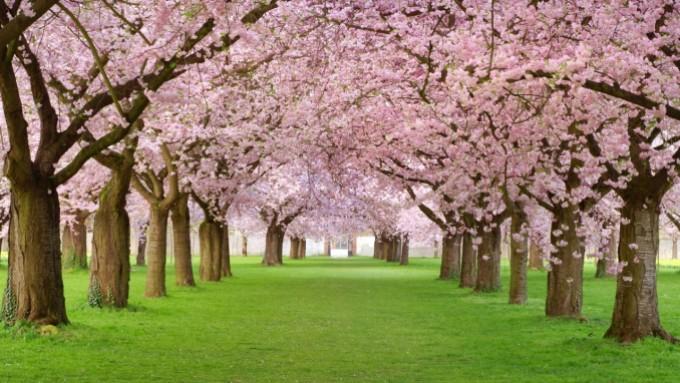 arbre_rose_et_verdure_super_beau