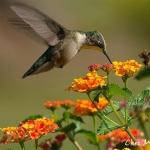 colibri_130