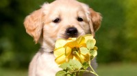 kutya-rozsa-allatkolyok