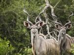 kudu_antilopa_roga_114041_1024x768