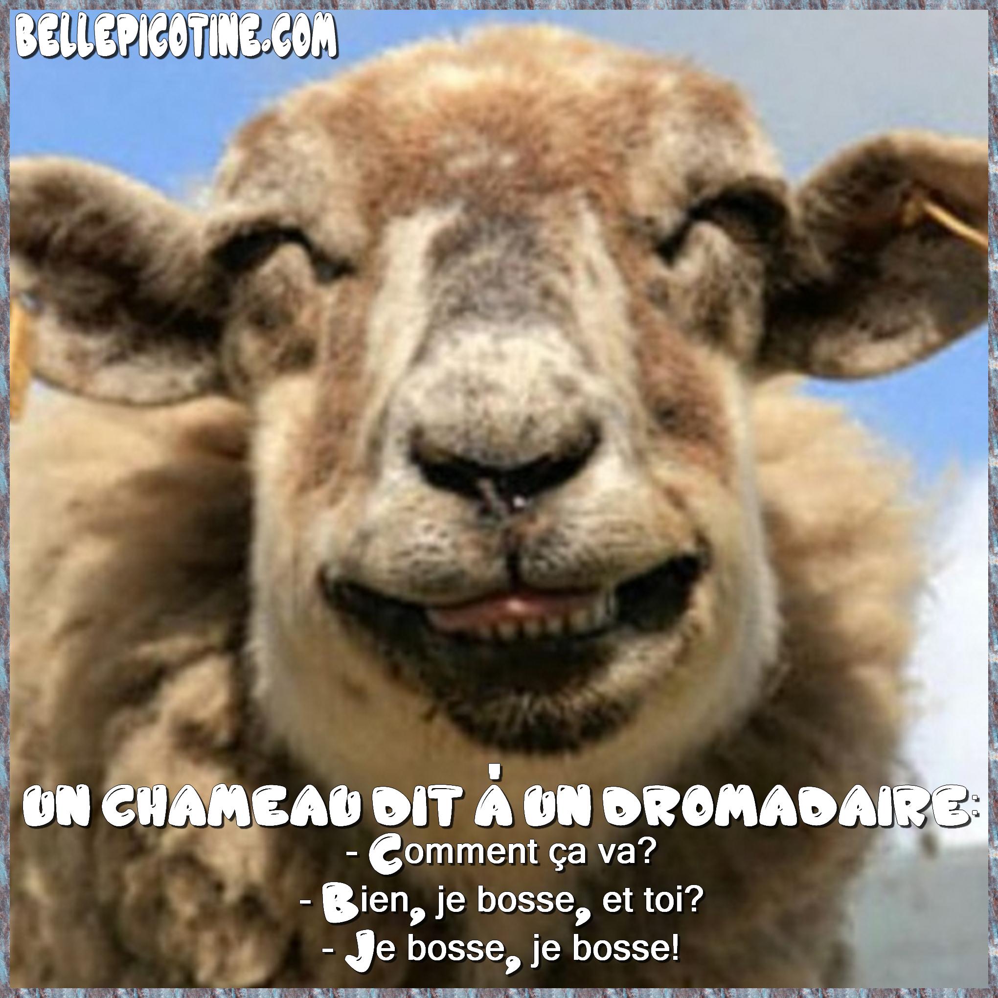 Carte Humour Un Chameau Et Un Dromadaire Belle Picotine