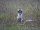 arctic_fox_grass_sits_116212_1024x768