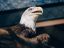 bald_eagle_eagle_bird_beak_predator_116232_1024x768