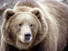 brown_bear_snow_face_eyes_72489_1024x768