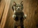 cat_kitten_standing_gray_116224_1024x768