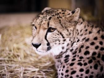 cheetah_muzzle_predator_115762_1024x768