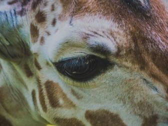 giraffe_eye_muzzle_115984_1024x768