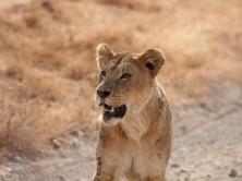 lioness_predator_lion_grin_115838_1024x768