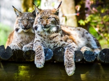 lynx_predator_large_cat_116273_1024x768