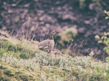 quail_bird_spotted_grass_116016_1024x768