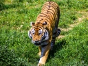 tiger_predator_grass_big_cat_116329_1024x768