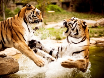 tigers_couple_fighting_water_aggression_predator_56479_1024x768
