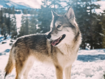 wolf_predator_winter_115851_1024x768