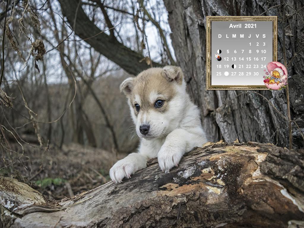 DogsHuskyPuppy53