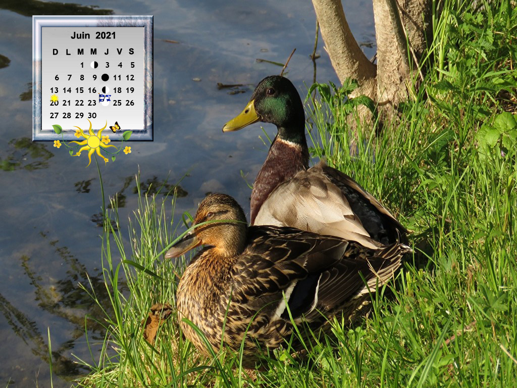 BirdsDucksGrass28720