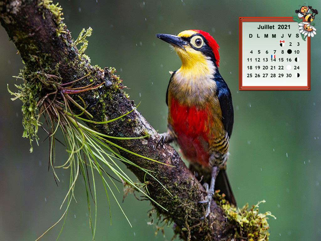 WoodpeckerBirdyellowfr830